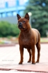 Chinese chongqing dog - Lovely From Bordo I-Fen-Sajo